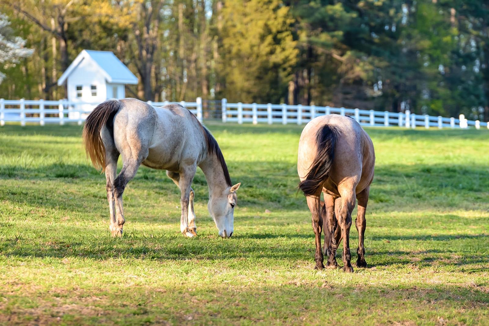 2 horses grazing in a field
